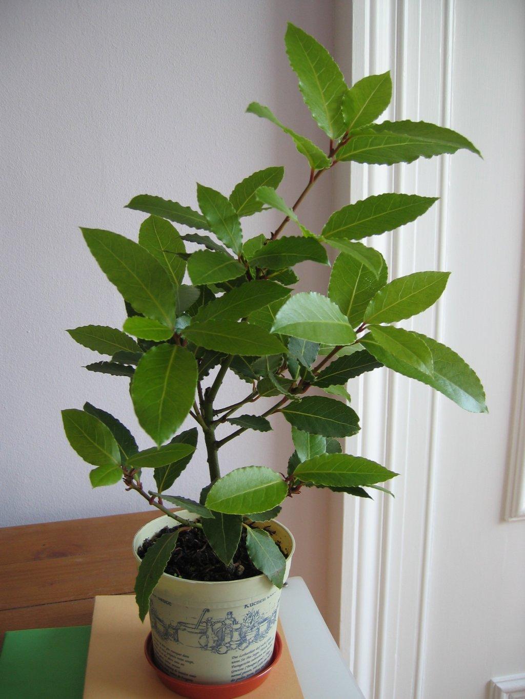 Выращивание лаврового дерева