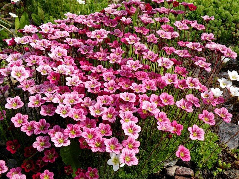 Цветок Камнеломка
